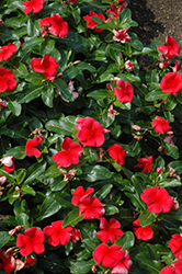 Vitalia Scarlet Vinca (Catharanthus roseus 'Vitalia Scarlet') at Stauffers Of Kissel Hill