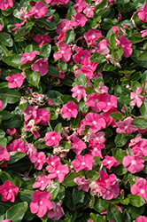 Vitalia Pink Vinca (Catharanthus roseus 'Vitalia Pink') at Stauffers Of Kissel Hill