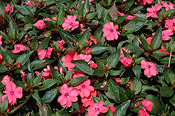 Sun Harmony Salmon New Guinea Impatiens (Impatiens 'Sun Harmony Salmon') at Stauffers Of Kissel Hill