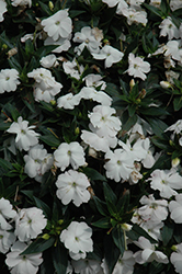 SunPatiens® Compact White New Guinea Impatiens (Impatiens 'SunPatiens Compact White') at Stauffers Of Kissel Hill