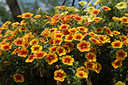 Crave™ Sunset Calibrachoa (Calibrachoa 'Crave Sunset') at Stauffers Of Kissel Hill