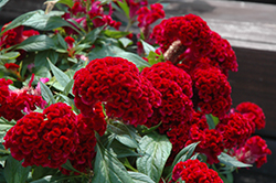 Twisted Celosia (Celosia cristata 'Twisted') at Stauffers Of Kissel Hill