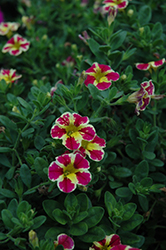 Superbells® Holy Moly! Calibrachoa (Calibrachoa 'Superbells Holy Moly!') at Stauffers Of Kissel Hill