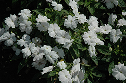Divine™ White Blush New Guinea Impatiens (Impatiens hawkeri 'Divine White Blush') at Stauffers Of Kissel Hill