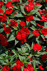 Divine™ Scarlet Red New Guinea Impatiens (Impatiens hawkeri 'Divine Scarlet Red') at Stauffers Of Kissel Hill