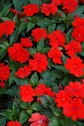 Divine™ Orange New Guinea Impatiens (Impatiens hawkeri 'Divine Orange') at Stauffers Of Kissel Hill
