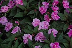 Divine™ Lavender New Guinea Impatiens (Impatiens hawkeri 'Divine Lavender') at Stauffers Of Kissel Hill