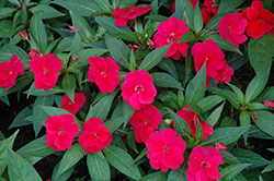 Divine™ Cherry Red New Guinea Impatiens (Impatiens hawkeri 'Divine Cherry Red') at Stauffers Of Kissel Hill