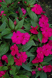 Divine™ Violet New Guinea Impatiens (Impatiens hawkeri 'Divine Violet') at Stauffers Of Kissel Hill