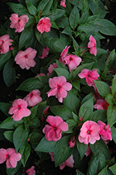 Divine™ Pink New Guinea Impatiens (Impatiens hawkeri 'Divine Pink') at Stauffers Of Kissel Hill