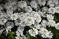 Snowflake Candytuft (Iberis sempervirens 'Snowflake') at Stauffers Of Kissel Hill