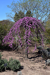 Lavender Twist Redbud (Cercis canadensis 'Covey') at Stauffers Of Kissel Hill