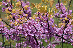 The Rising Sun Redbud (Cercis canadensis 'The Rising Sun') at Stauffers Of Kissel Hill