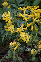 Canary Feathers Corydalis (Corydalis 'Canary Feathers') at Stauffers Of Kissel Hill