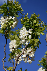Twisted Baby® Black Locust (Robinia pseudoacacia 'Lace Lady') at Stauffers Of Kissel Hill