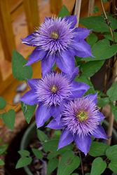 Multi Blue Clematis (Clematis 'Multi Blue') at Stauffers Of Kissel Hill
