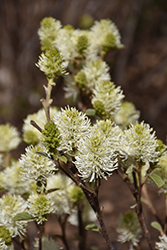 Mt. Airy Fothergilla (Fothergilla major 'Mt. Airy') at Stauffers Of Kissel Hill