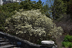 Dwarf Fothergilla (Fothergilla gardenii) at Stauffers Of Kissel Hill