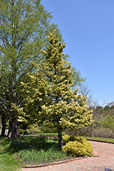 Cripps Gold Falsecypress (Chamaecyparis obtusa 'Crippsii') at Stauffers Of Kissel Hill