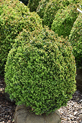 Dwarf English Boxwood (Buxus sempervirens 'Suffruticosa') at Stauffers Of Kissel Hill