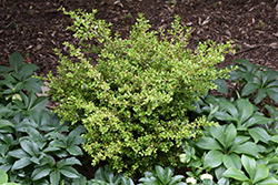 Golden Dream Boxwood (Buxus microphylla 'Peergold') at Stauffers Of Kissel Hill