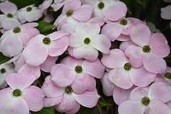 Stellar Pink Flowering Dogwood (Cornus 'Stellar Pink') at Stauffers Of Kissel Hill