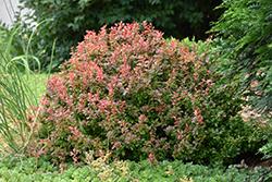 Admiration Japanese Barberry (Berberis thunbergii 'Admiration') at Stauffers Of Kissel Hill