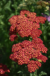 Strawberry Seduction Yarrow (Achillea millefolium 'Strawberry Seduction') at Stauffers Of Kissel Hill