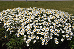 Becky Shasta Daisy (Leucanthemum x superbum 'Becky') at Stauffers Of Kissel Hill