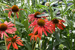 Tomato Soup Coneflower (Echinacea 'Tomato Soup') at Stauffers Of Kissel Hill