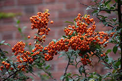 Scarlet Firethorn (Pyracantha coccinea) at Stauffers Of Kissel Hill