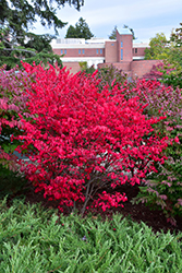 Compact Winged Burning Bush (Euonymus alatus 'Compactus') at Stauffers Of Kissel Hill