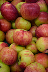 Cortland Apple (Malus 'Cortland') at Stauffers Of Kissel Hill