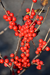 Berry Poppins® Winterberry (Ilex verticillata 'FARROWBPOP') at Stauffers Of Kissel Hill