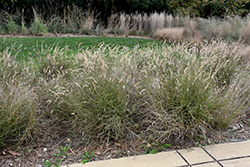 Karley Rose Oriental Fountain Grass (Pennisetum orientale 'Karley Rose') at Stauffers Of Kissel Hill