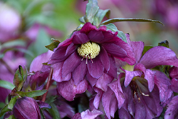 Berry Swirl Hellebore (Helleborus 'Berry Swirl') at Stauffers Of Kissel Hill
