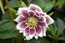 Painted Doubles Hellebore (Helleborus 'Painted Doubles') at Stauffers Of Kissel Hill