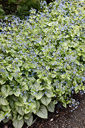Jack Frost Bugloss (Brunnera macrophylla 'Jack Frost') at Stauffers Of Kissel Hill