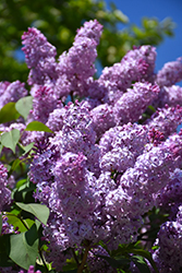 Common Lilac (Syringa vulgaris) at Stauffers Of Kissel Hill