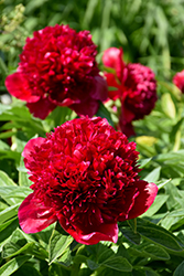 Red Charm Peony (Paeonia 'Red Charm') at Stauffers Of Kissel Hill