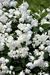 Snowbelle Mockorange (Philadelphus 'Snowbelle') at Stauffers Of Kissel Hill