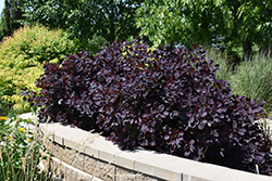Royal Purple Smokebush (Cotinus coggygria 'Royal Purple') at Stauffers Of Kissel Hill