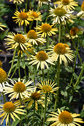 Maui Sunshine Coneflower (Echinacea 'Maui Sunshine') at Stauffers Of Kissel Hill