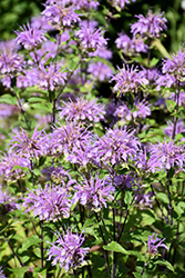 Blue Stocking Beebalm (Monarda didyma 'Blue Stocking') at Stauffers Of Kissel Hill