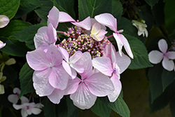 Let's Dance® Diva! Hydrangea (Hydrangea macrophylla 'SMHMLDD') at Stauffers Of Kissel Hill
