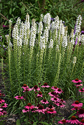 Floristan White Blazing Star (Liatris spicata 'Floristan White') at Stauffers Of Kissel Hill