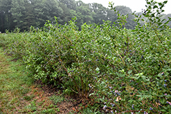 Bluecrop Blueberry (Vaccinium corymbosum 'Bluecrop') at Stauffers Of Kissel Hill