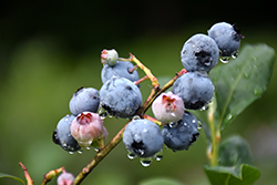Blueray Blueberry (Vaccinium corymbosum 'Blueray') at Stauffers Of Kissel Hill