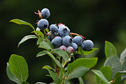Northland Blueberry (Vaccinium corymbosum 'Northland') at Stauffers Of Kissel Hill