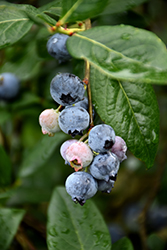 Blue Jay Blueberry (Vaccinium corymbosum 'Blue Jay') at Stauffers Of Kissel Hill